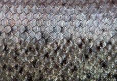 El cierre de la escala de pescados para arriba Foto de archivo libre de regalías