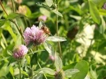 El cierre de la flor del trébol rojo para arriba con la abeja imágenes de archivo libres de regalías