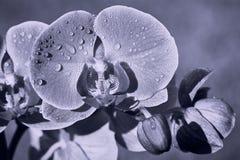 El cierre de la flor de la orquídea para arriba con agua cae en un día soleado imagen de archivo