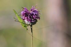 El cierre de un saltamontes se incorpora en una flor Fotografía de archivo libre de regalías