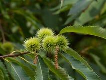 El cierre del árbol de castaña para arriba con verde unriped las castañas Imágenes de archivo libres de regalías
