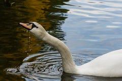 El cierre del agua de las bebidas del cisne para arriba Fotografía de archivo