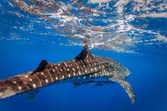 El cierre del buceador encima de la opinión el tiburón de ballena con dos pequeños pescados por debajo el vientre Fotografía de archivo