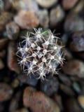 El cierre del cactus sube Fotos de archivo libres de regalías