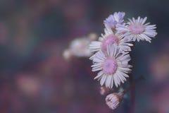 El cierre del ` de las gamuzas del ` encima de la compensación del foldover de la manzanilla púrpura florece en ultravioleta de l Fotografía de archivo