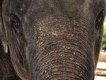 El cierre del elefante para arriba Fotografía de archivo