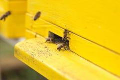 El cierre encima de abejas de la miel está consiguiendo dentro y fuera de la colmena Imágenes de archivo libres de regalías