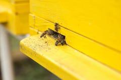 El cierre encima de abejas está en la entrada a la colmena Imagenes de archivo