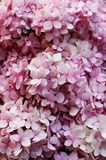 El cierre encima de colores rosados de las flores de la hortensia es un género de muchas especies de plantas florecientes Foto de archivo