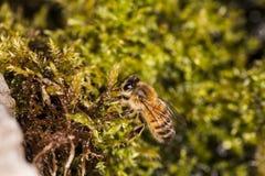 El cierre encima de la abeja se sienta en un grupo de musgo Fotos de archivo libres de regalías