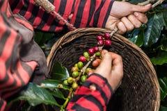 El cierre encima de la mano guarda los granos de café para cosechar Fotografía de archivo libre de regalías