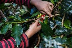 El cierre encima de la mano guarda los granos de café para cosechar Fotografía de archivo