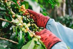 El cierre encima de la mano guarda los granos de café para cosechar Fotos de archivo