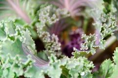 El cierre encima de la opinión superior la col de la col rizada se va Foo sano de las verduras Imagen de archivo