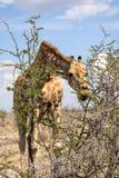El cierre encima de la opinión una jirafa que dobla abajo para comer el árbol del acacia se va Fotografía de archivo libre de regalías