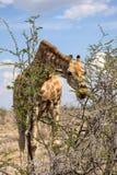 El cierre encima de la opinión una jirafa que dobla abajo para comer el árbol del acacia se va Foto de archivo libre de regalías