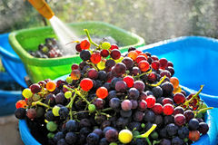 El cierre encima de la vista de uvas adolescentes frescas se lava en cuenco Imágenes de archivo libres de regalías