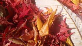 El cierre encima de la vista 4K de las hojas de otoño es rojizo o marrón en color almacen de video
