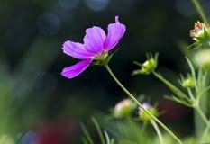 El cierre encima de las flores del bipinnatus del cosmos brilla en el jardín de flores Fotografía de archivo libre de regalías