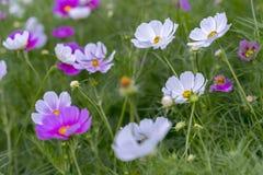 El cierre encima de las flores del bipinnatus del cosmos brilla en el jardín de flores Imagen de archivo libre de regalías