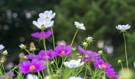 El cierre encima de las flores del bipinnatus del cosmos brilla en el jardín de flores Imagenes de archivo