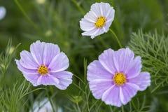 El cierre encima de las flores del bipinnatus del cosmos brilla en el jardín de flores Fotografía de archivo
