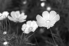 El cierre encima de las flores del bipinnatus del cosmos brilla en el jardín de flores Imagen de archivo