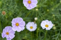 El cierre encima de las flores del bipinnatus del cosmos brilla en el jardín de flores Fotos de archivo libres de regalías