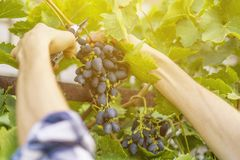 El cierre encima de las manos masculinas del jardinero escoge las frutas en un invernadero imágenes de archivo libres de regalías