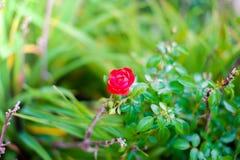 El cierre encima de rosas rojas hermosas florece con el fondo verde en el jardín botánico imagen de archivo