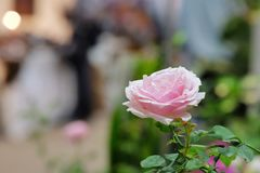El cierre encima de rosas rosadas dulces florece en un ramo de la flor fotografía de archivo