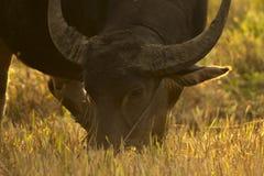 El cierre encima del búfalo está comiendo la hierba La tarde es de oro Foto de archivo