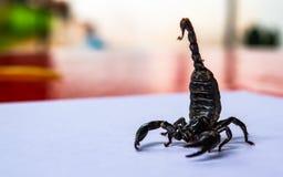 El cierre encima del escorpión se prepara para luchar y protegido cuando acercamiento del fotógrafo a tirar en la tabla del patio foto de archivo libre de regalías