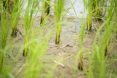 El cierre encima del principio de la planta de arroz crece de suelo Imagen de archivo libre de regalías