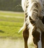 El cierre encima del tiro del caballo marchita y melena Foto de archivo libre de regalías