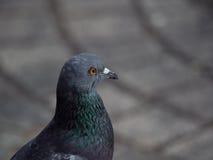 El cierre encima del tiro en el lado de una roca se zambulló foco del pájaro de la paloma solamente fotografía de archivo