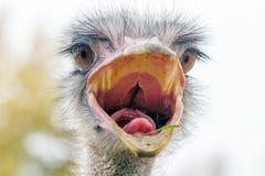 El cierre enojado de la avestruz encima del retrato, se cierra encima de camelus del Struthio de la cabeza de la avestruz foto de archivo