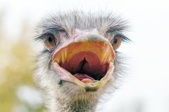 El cierre enojado de la avestruz encima del retrato, se cierra encima de camelus del Struthio de la cabeza de la avestruz fotografía de archivo libre de regalías
