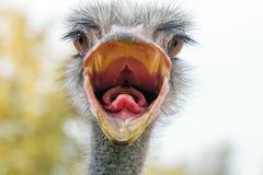 El cierre enojado de la avestruz encima del retrato, se cierra encima de camelus del Struthio de la cabeza de la avestruz fotos de archivo libres de regalías