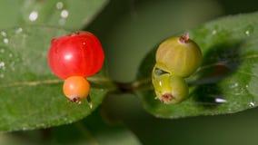 El cierre extremo para arriba de la lluvia regó bayas maduras rojas al lado de bayas inmaduras verdes de un arbusto con - grandes fotos de archivo libres de regalías