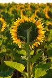 El cierre floreciente del girasol para arriba contra el sol fotografía de archivo