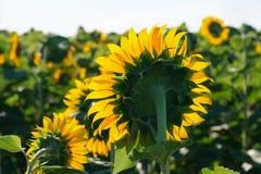 El cierre floreciente del girasol para arriba contra el sol imagen de archivo