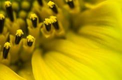 El cierre hermoso de la macro del detalle para arriba de pistilos del girasol amarillo floreciente con los pétalos, modela el fon Fotos de archivo libres de regalías