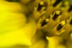 El cierre hermoso de la macro del detalle para arriba de pistilos del girasol amarillo floreciente con los pétalos, modela el fon Foto de archivo libre de regalías
