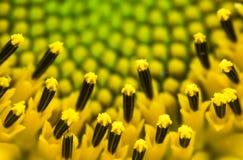 El cierre hermoso de la macro del detalle para arriba de pistilos del jefe floreciente de verde amarillo del girasol, modela el f Fotos de archivo libres de regalías