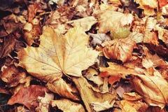 El cierre hermoso para arriba de la hoja de arce con caída seca roja amarilla colorida del otoño se va en el fondo, temporada de  Imagen de archivo libre de regalías