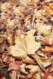 El cierre hermoso para arriba de la hoja de arce con caída seca roja amarilla colorida del otoño se va en el fondo, temporada de  Imagen de archivo