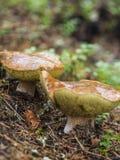 El cierre hermoso sube del hongo, del musgo y de las setas encontrados en bosques rústicos del pino de Finlandia Foto de archivo