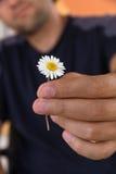 El cierre para arriba de la mano masculina da una flor de la manzanilla salvaje o de la margarita con amor romance, sensaciones Foto de archivo