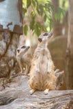 El cierre para arriba de los meerkats de los pares que se colocaban sobre tocón y que miraban una encuesta para condujo fotografía de archivo